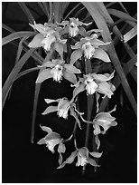 Cymbidium Hybrid '11'. A hybrid orchid ( black and white)