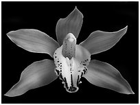 Cymbidium Hybrid '11' Flower. A hybrid orchid ( black and white)