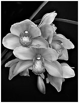 Cymbidium Hybrid '9'. A hybrid orchid ( black and white)