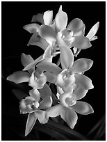 Cymbidium Melody Heart 'Snow Ripples'. A hybrid orchid (black and white)