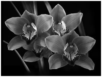 Cymbidium Mighty Margaret 'Wainakea Orange'. A hybrid orchid (black and white)