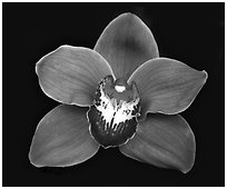 Cymbidium Mighty Sunset 'Annabelle' Flower. A hybrid orchid ( black and white)