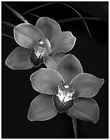 Cymbidium Mighty Sunset 'Annabelle'. A hybrid orchid ( black and white)