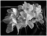 Cymbidium Mini Dream 'Gold Sovereign'. A hybrid orchid ( black and white)