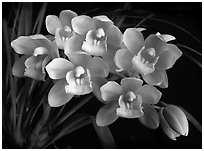 Cymbidium Mini Sarah 'The Queen'. A hybrid orchid ( black and white)
