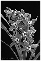 Cymbidium Minneken 'Khobai'. A hybrid orchid ( black and white)