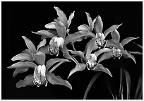 Cymbidium Pepper's Fire 'Fiesta' Flower. A hybrid orchid ( black and white)