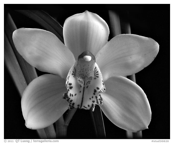 Black and White Picture/Photo: Cymbidium Peter Dawson ...