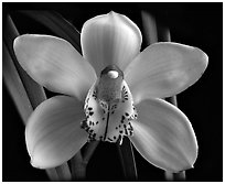 Cymbidium Peter Dawson 'Granadier'. A hybrid orchid (black and white)