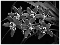 Cymbidium Pipeta 'Magenta'. A hybrid orchid ( black and white)