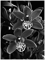 Cymbidium Pipeta 'Royal Gem' Flower. A hybrid orchid ( black and white)