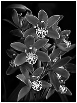 Cymbidium Pipeta 'Royal Gem'. A hybrid orchid ( black and white)