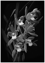 Cymbidium pumilum semi album.  A species orchid.. A hybrid orchid ( black and white)