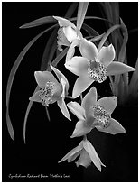 Radiant Beam 'Mother's Love'. A hybrid orchid ( black and white)