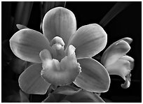 Cymbidium Sarah Jean 'Trish' Flower. A hybrid orchid ( black and white)