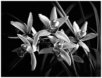 Cymbidium Showgirl 'Malibu'. A hybrid orchid ( black and white)