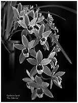 Cymbidium Squirt 'Mem. Esther Loo'. A hybrid orchid ( black and white)