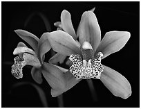 Cymbidium Starbright Flower. A hybrid orchid (black and white)