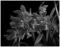 Cymbidium Strathdon 'Chailey Red'. A hybrid orchid (black and white)