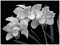 Cymbidium Tese Gorszwick 'Yeah'. A hybrid orchid ( black and white)