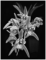 Cymbidium Tiger Moth '!'. A hybrid orchid (black and white)