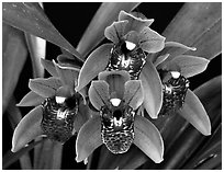 Cymbidium Tiny Tiger. A hybrid orchid ( black and white)