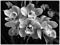 Cymbidium Tontos Target. A hybrid orchid (black and white)