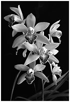 Cymbidium Valentine Love 'Spring Scent'. A hybrid orchid ( black and white)