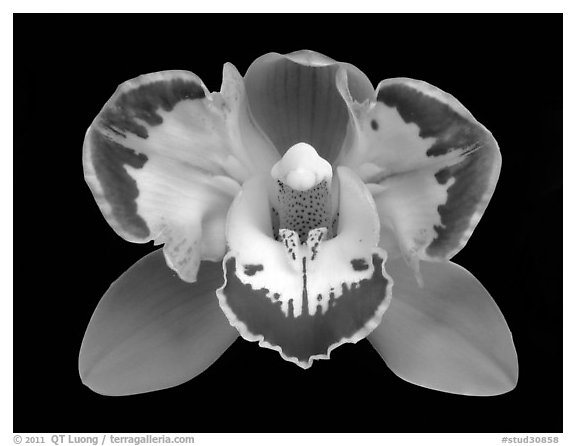 Black and White Picture/Photo: Cymbidium Vidar 'Halerquin ...