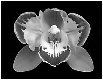 Cymbidium Vidar 'Halerquin' Flower. A hybrid orchid ( black and white)
