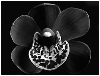 Cymbidium Willunga Regal 'Night Shade' Flower. A hybrid orchid ( black and white)