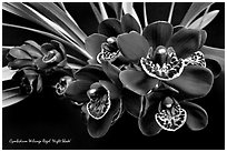Cymbidium Willunga Regal 'Night Shade'. A hybrid orchid ( black and white)
