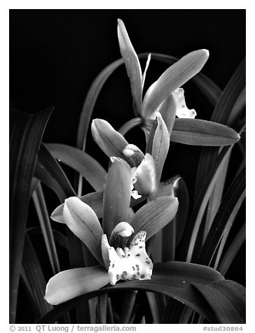 Cymbidium Zales-goeringii 'Meadowlands'. A hybrid orchid (black and white)