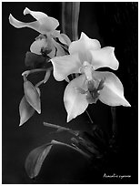 Acacallis cyanea. A species orchid (black and white)