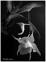 Aeranthes ramosa. A species orchid (black and white)