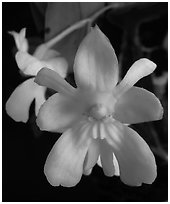 Dendrobium abberans flower. A species orchid (black and white)
