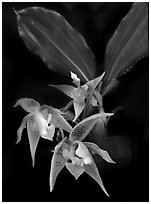 Kegeliella astropillosa. A species orchid ( black and white)