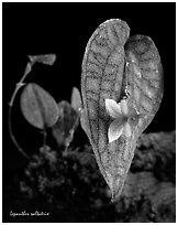Lepanthes saltatrix. A species orchid ( black and white)