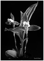 Lycaste debbie. A species orchid ( black and white)