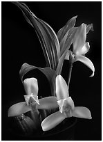 Lycaste ipala. A species orchid ( black and white)