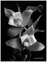 Lycaste tricolor plant. A species orchid ( black and white)