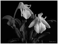 Cadetia species. A species orchid (black and white)