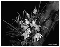 Capanemia micromera. A species orchid (black and white)