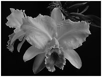 Cattleya percilviana 'Sumit'. A species orchid (black and white)
