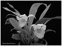Chondrorhyncha lendyana. A species orchid (black and white)