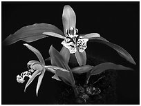 Coelogyne schilleriana. A species orchid (black and white)