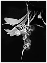 Dracula chesterstonii. A species orchid (black and white)