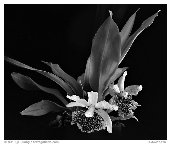 Kefersteinia tolimensis. A species orchid (black and white)