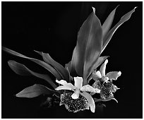 Kefersteinia tolimensis. A species orchid ( black and white)
