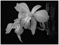 Laelia speciosa. A species orchid ( black and white)